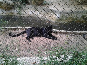 Chiang mai zoo jaguar