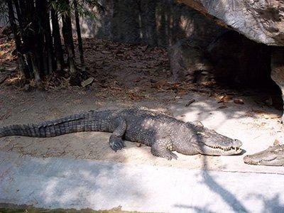 Chiang Mai crocodile