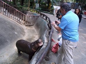 Baby hippo at Chiang Mai Zoo