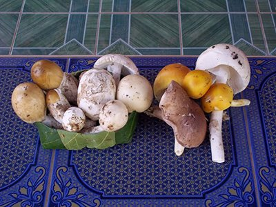 isan mushrooms