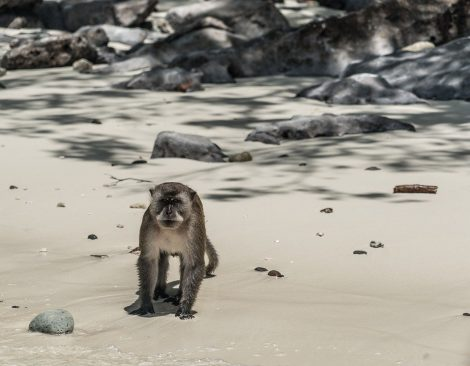 Crab eating macaque monkey on Koh Phi Phi beach