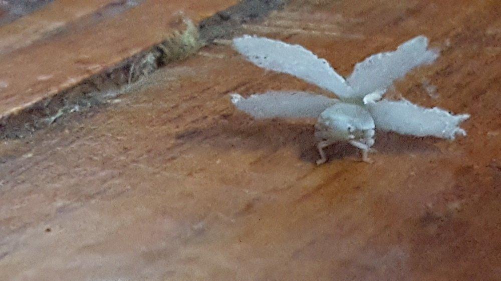 Angel Bug Front