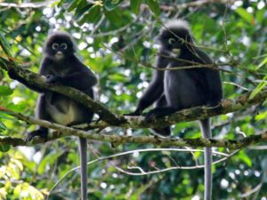 Spectacled Langur monkeys in Khao Sok National Park